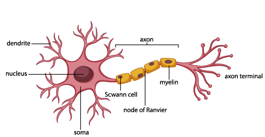 Neurons-by-webs-health