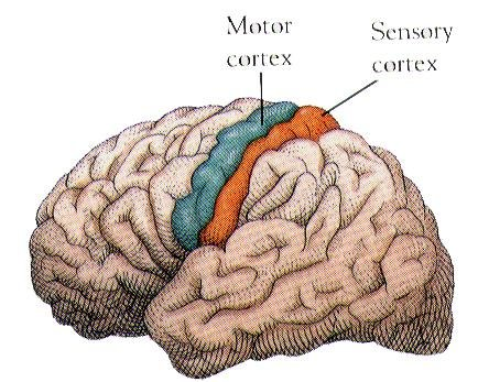 Early Map of the Somatic Sensory - Webshealth