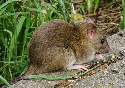 Fear of rats and mice murophobia - Webshealth